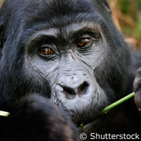 Study identifies factors to help save great apes