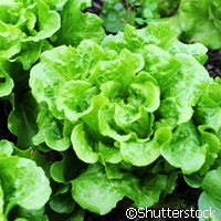 Growing fresh lettuce with less irrigation - it can be done!