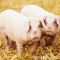 European scientists contribute to greater understanding of the pig genome