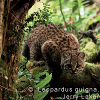 Keeping the peace between Chilean wild cats and landowners