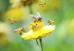 Trending science: Wild bees threatened by virus from commercial bees | News | CORDIS | European Commission