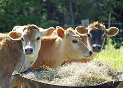 GM crop database launched to ensure safety of EU animal feed supply