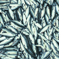 Food sector innovations tap nutritional potential of fish