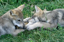 Adult wolves use playtime to reinforce their dominance over puppies
