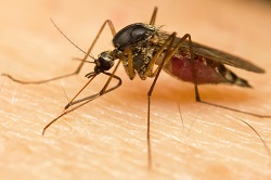 Trending Science: Mosquito saliva hijacks immune cells to spread viruses