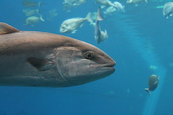 Developing a forecast system for Atlantic albacore tuna
