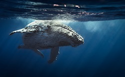 Trending Science: Cetaceans having a whale of a time thanks to big brains, says study