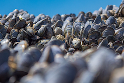 A hard shell: how mussels are affected by ocean acidification