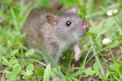 Genetically mutated rats could be a 21st century form of pest control