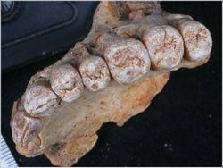 180 000 year-old jawbone places humans outside Africa far earlier than thought