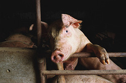 Benchmarking Acute Phase Protein levels in pigs