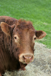 Tracking and tracing for enhanced beef safety