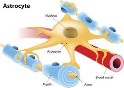 Astrocytes and stress