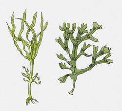 Macroalgae are important for marine ecosystems