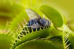 Développez votre propre venus fly trap