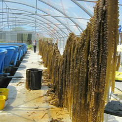 Seaweed – A sustainable source of bioplastics | Result In Brief