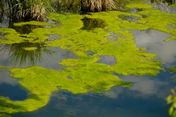 Algae as more than a future biofuel